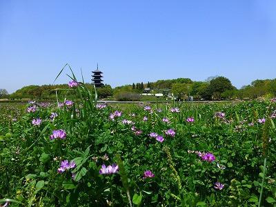 備中国分寺のれんげ畑