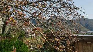 桜つぼみ【動画】