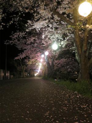 金川 土手 桜 夜