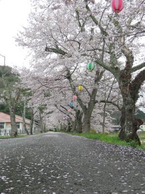 金川 土手 桜 昼