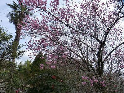おちゃむの『よろこびの庭』-國定様邸 梅 3月20日