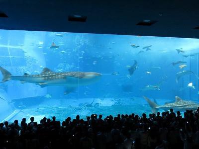 おちゃむの『よろこびの庭』-美ら海水族館 じんべい鮫