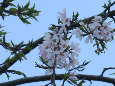 岡山城東 滝桜