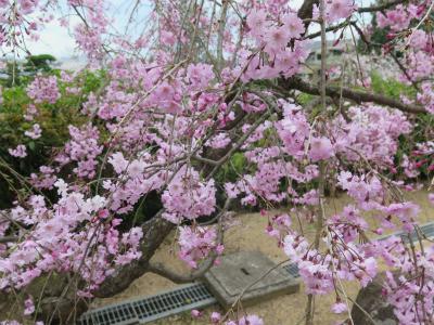妙善寺 八重桜
