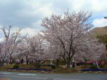 おちゃむの『よろこびの庭』-カバヤ桜
