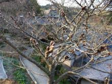おちゃむの『よろこびの庭』-國定様邸 桜つぼみ