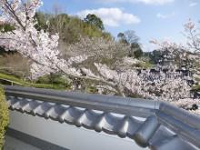 おちゃむの『よろこびの庭』-塀 と 桜