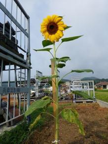 おちゃむの『よろこびの庭』-2012.8.13 ひまわり
