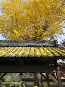 妙覚寺 銀杏と屋根